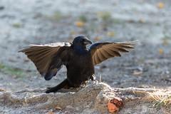 20181006_Vincennes_Corneille noire (thadeus72) Tags: aves birds carrioncrow corneillenoire corvidae corvidés corvuscorone oiseaux passériformes