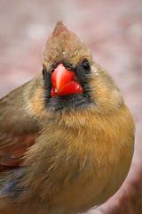 Momma Cardinal (leehobbi) Tags: birds nature backyard cardinal red bird birdsnaturebackyard
