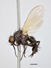 Musca flavipennis Fallén, 1823 (Biological Museum, Lund University: Entomology) Tags: fallén diptera anthomyiidae musca flavipennis chirosia mzlutype00499 taxonomy:binomial=muscaflavipennis