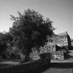The olive tree (lebre.jaime) Tags: portugal beira covilhã wall olive tree hasselblad 500cm distagon c3560 analogic film120 6x6 blackwhite bw pb pretobranco noiretblanc schwarzweis sw rollei retro80s iso80 mf mediumformat squareformat epson v600 affinity affinityphoto