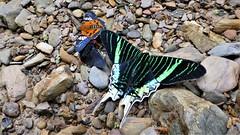 Urania leilus, Myscelus assaricus mapirica, Passova passova (kirstenmatthiesen) Tags: bolivia yungas butterfly mariposa