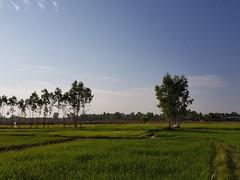 Rice paddies in Ban Thung That 1 (SierraSunrise) Tags: agriculture esarn farming grain isaan nongkhai paddyrice phonphisai plants poaceae rice ricepaddies ricepaddy thailand