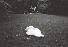 I'm Blue (LeeDylanLeeDyl) Tags: swan swans bird park grass black white bnw bw expired film 35mm olympus xa xa2 rangefinder camera st saint stephens green dublin ireland irish eire