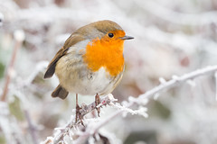 Next year's Christmas card (alanrharris53) Tags: robin bird aves christmas frost attenborough nature reserve nottingham