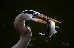 Great blue heron with rainbow trout (Thy Photography) Tags: nocropped fullframe nikon sonya9 canon rain sunrise sunset california rainbowtrout bird nature photography outdoor backyard animal wildlife greatblueheron