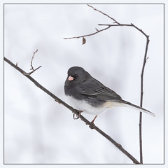 Dark-Eyed Junco (hey its k) Tags: 2019 arboretum birds cootesparadise junco nature rbg snow winter hamilton ontario canada ca imga0051e canon5dmarkiv tamron 150600mm