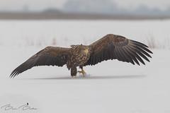 Spikey snowshoe (BenBoda) Tags: wildlife nature animal bird birdphotography winter snow eagle canon1div canon400f56