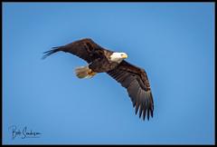 Bald Eagle (bob_sanderson) Tags: centerport baldeagle bird birds eagle