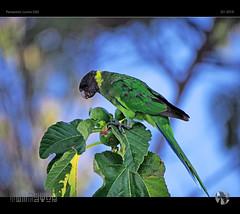 Enjoying The Figs (tomraven) Tags: parrot figs bird tree bokeh light eating nature tomraven aravenimage green blue bluegreen q12019 olympus em1mk2
