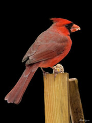 Northern Cardinal Male - Cardinal rouge mâle (monteregina) Tags: file:name=nb201703278525 file:name=nb201712285862 canada oiseaux birds cardinal monjardin mygarden avian redfeathers plumagerouge cardinaliscardinalis oiseaurouge redbird wildlife northerncardinal québec granivores seedeating plumes plumage feathers macro closeup monteregina cardinalgrosbeaks commoncardinals cardinalbunting strongbills faune fauna aviaire cardinalrougemâle oiseauxdhiver winterbirds wildbirds oiseauxsauvages neige snow mâle male oiseauchanteur songbird sauvagine