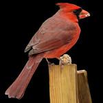 Northern Cardinal Male - Cardinal rouge mâle thumbnail