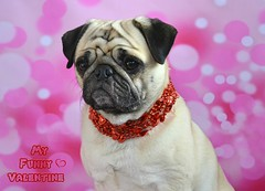 My Funny Valentine (DaPuglet) Tags: pug pugs dog dogs pet pets animal animals valentine funny cute love valentinesday heart hearts holiday kisses saintvalentin coth5 carlin carlins