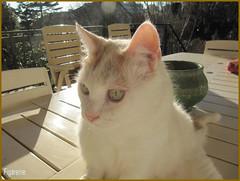 Mouna se dore au soleil sur la table de la terrasse ! (Figareine- Michelle) Tags: chat bestofcats catmoments
