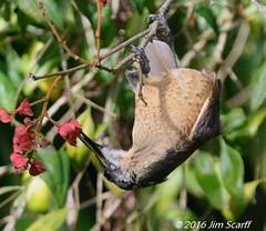 Victoria's Riflebird (female) (Jim Scarff) Tags: australianbirds birdsofparadise ptilorisvictoriae victoriasriflebird exif:aperture=ƒ71 exif:lens=ef100400mmf4556lisiiusm14xiii camera:model=canoneos7dmarkii camera:make=canon geo:location=chamberswildliferainforestlodge exif:focallength=420mm exif:model=canoneos7dmarkii exif:isospeed=2500 exif:make=canon