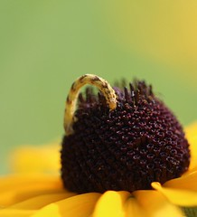 Eupithecia larva (Gary Walton) Tags: caterpillar caterpillarfeeding geometridmoths geometridae pugmoth yellowcaterpillar flower eupitheciamiserulata
