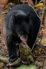 Small Bear, Big Fish (fascinationwildlife) Tags: animal mammal wild wildlife nature natur black bear schwarzbär bär cute cub salmon fish fall autumn bc british columbia kanada canada riv creek catch run predator