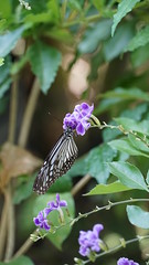 2019-02-11_12-42-33_ILCE-6500_DSC02800 (Miguel Discart (Photos Vrac)) Tags: 162mm 2019 animal animalphotography animals animalsupclose animaux butterfly chiangmai e18135mmf3556oss fleurs flowers focallength162mm focallengthin35mmformat162mm highiso holiday ilce6500 iso2000 nature naturephotography papillon pet sony sonyilce6500 sonyilce6500e18135mmf3556oss thailand thailande travel vacances voyage