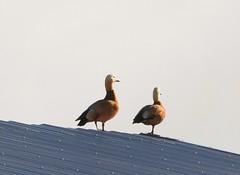 Definite LIFE BIRD!! The Ruddy Shelducks of Gilroy! (Ruby 2417) Tags: rare rarity life bird lifer wildlife nature animal duck shelduck gilroy barn roof