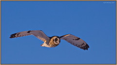 BIFSEO_6D_3414 (CrzyCnuk) Tags: shortearedowl owl alberta canon canon6d wildlife seo bif