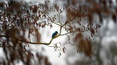 Spot [Explore] (Alexandre LAVIGNE) Tags: hdpentaxdfa150450mm martinpêcheurdeurope pentaxk1 2019 faune hiver ambiance bird k1 nature oiseaux fonsomme picardiehautsdefrance