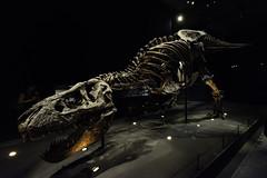 T-Rex (Rudy Pilarski) Tags: nikon trex paris france francia ancien old color couleur capitale exposition os bones squelette 1020 nikkor animal nature d7100