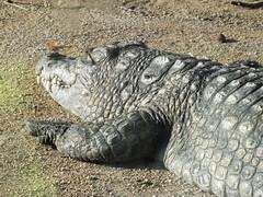 DSCF1116 _R (Benoit Vellieux) Tags: france lyon 69 têtedor zoo tiergarten crocodile krokodil alligator