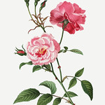 Chinese rose (Rosa semperflorens) illustration from Traité des thumbnail