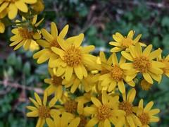 Senecio up close (jill.brubaker) Tags: senecio packeraaurea ragwort saintjameswort