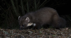 Pine Marten sniffing out a morsel (tobyhoulton) Tags: pine marten wildlife nature animal mammal night nocturnal scotland highlands toby houlton nikon d500
