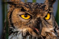 WHO? (Benja.Broadley) Tags: anger feather nature predator birdofprey bird wildlife close sunrise hiss tules marsh greathornedowl owl