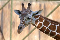 Giraffe FaceTime (Kaptured by Kala) Tags: fortworthzoo mammal closeup zoo fortworthtexas reticulatedgiraffe giraffacamelopardalis giraffe largeanimal newspeciesforme portrait nativetoafrica