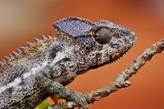 Spiny or Warty Chameleon (Furcifer verrucosus) (Susan Roehl) Tags: madagascar2017 islandofmadagascar offtheeastcoastofafrica berentyreserve wartyakaspinychameleon furciferverrucosus southerncoast chameleon animal reptile endemic westpartofisland ariddisturbedland nearthesea terrestrial lowbushes feedsoninsects lays30to60eggsayear 6motoayear tomature coldblooded canchangecolors prehensiletail diurnal solitary oftenaggresive bulgingeyes moveindependently longtongues opportunistic sueroehl photographictours naturalexposures panasonic lumixdmcgh4 100400mmlens handheld cropped lizard macro