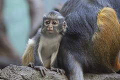 Baby Wolf's Mona Monkey (jopaz53) Tags: 300f4isl zoo monkey animal baby