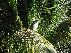 Black-crowned Night Heron on a palm branch 4070 (Tangled Bank) Tags: palm beach county florida wild nature natural oudoors blackcrowned night heron branch 4070 bird