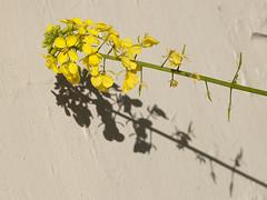 Mustard Plant & Peeling Walll (zeevveez) Tags: זאבברקן zeevveez zeevbarkan canon flower shadow