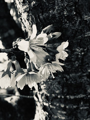 Cherry blossoms in b&w (karma (Karen)) Tags: baltimore maryland spring cherryblossoms dof bokeh mono bw hmbt iphone