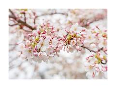 Blossom (Inna Karpova) Tags: cherry blossom spring photography lensbaby lensbabytrio28 flowerphotography
