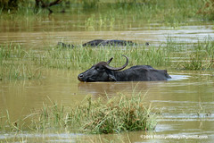 Asian Water Buffalo (Bubalus arnee migona) DSC_1166 (fotosynthesys) Tags: asianwaterbuffalo bubalusarneemigona buffalo bovidae mammal srilanka endangered