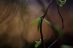 Simply bokeh... (Krystian38) Tags: bokeh sunset green leafs spring tree nature closeup garden pentax jupiter jupiter37a
