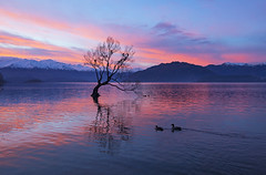 Place of Knowledge (Matt Champlin) Tags: wanaka thatwanakatree nature evening life newzealand amazing exotic alone lonetree beautiful ducks geese wildlife lake mountains alps winter reflection colorful canon 2018 incnredible