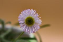 Wildflower (Stephen G Nelson) Tags: wildflower desert flower plant tucson arizona canoneosrebelsl1100d