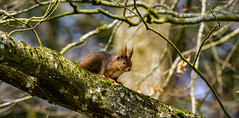 Squirrel (Curefitz) Tags: nikon sigma 150600 600mm nature wildlife squirrel green d7100 red