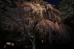 ji Temple Sakura blossoms 07 (HAMACHI!) Tags: tokyo 2019 japan ricoh ricohimaging ricohgr ricohgriii ricohgr3 gr3 griii gr weepingcherry 常圓寺 joenjitemple sakura cherryblossoms cherryblossom cherry night nightscene nightscape nightview lightup flower