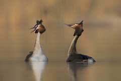 Spring loves ! (Ricky_71) Tags: great crested lake spring wild water nikon