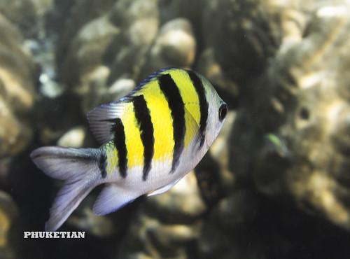 Coral fishes of Surin islands, Andaman sea, Thailand