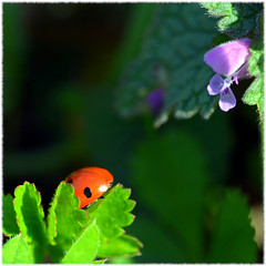 Couleurs (BrigitteChanson) Tags: couleur coccinelle fleur mauve rouge noir