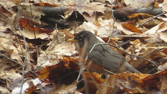 Spring Robin (Penny Des) Tags: bird robin american spring forage nature leaves