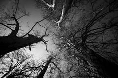 IMG_4559.jpg (Attila Gyurman Photography) Tags: természet blackwhite trees fák nature martonvásár forest