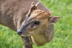 Muntjac (pstani) Tags: england essex europe greatbritain walton waltononthenaze woodberryway animal barkingdeer deer fauna muntjac