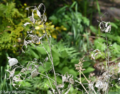 Tattered vestiges of honesty - an allegory for the times (Katy Wrathall) Tags: garden spring england eastyorkshire eastriding 2019pad 2019 365100 april